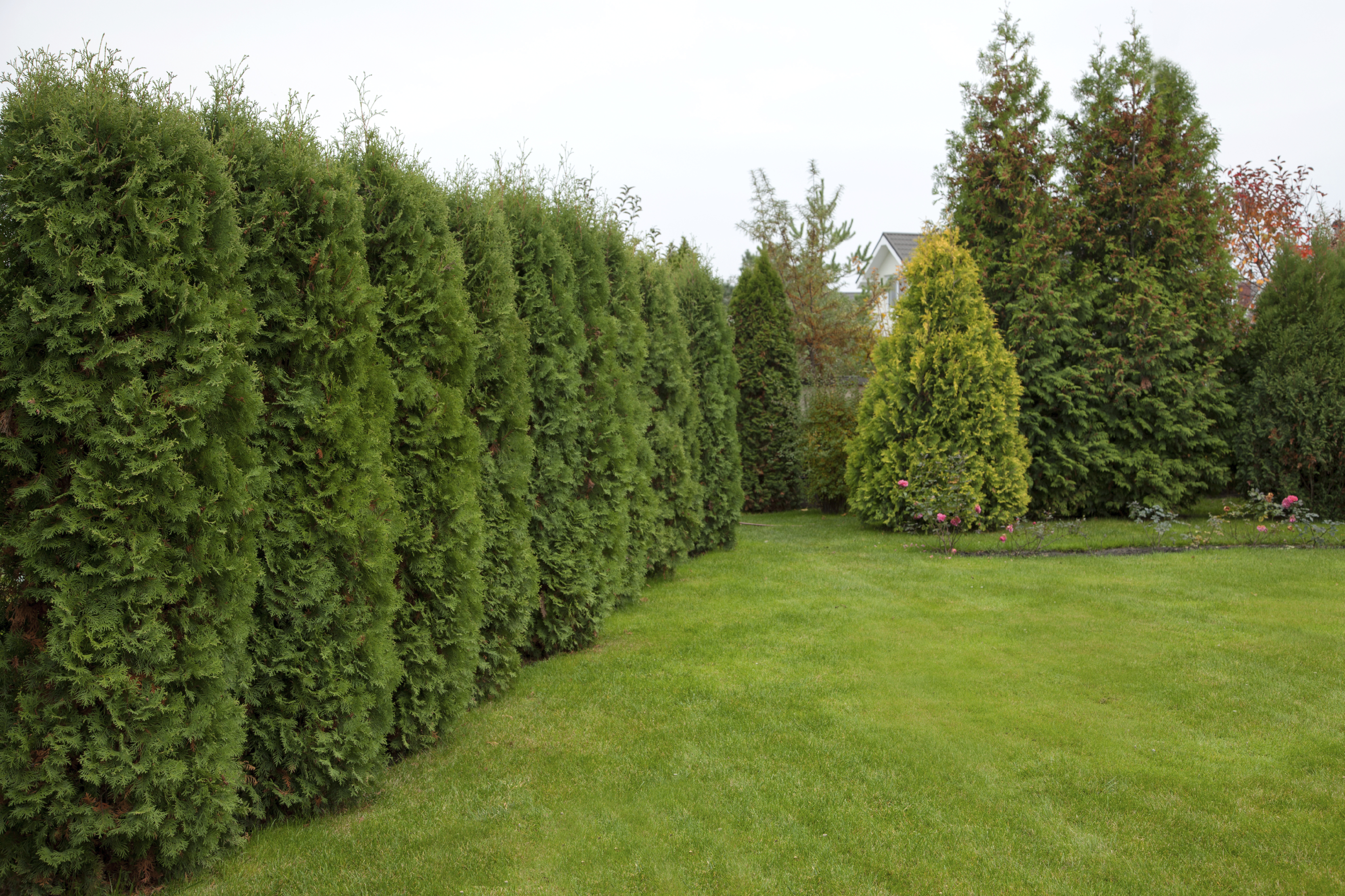 Fast Growing Trees For Your Garden Or Patio Earlyexperts