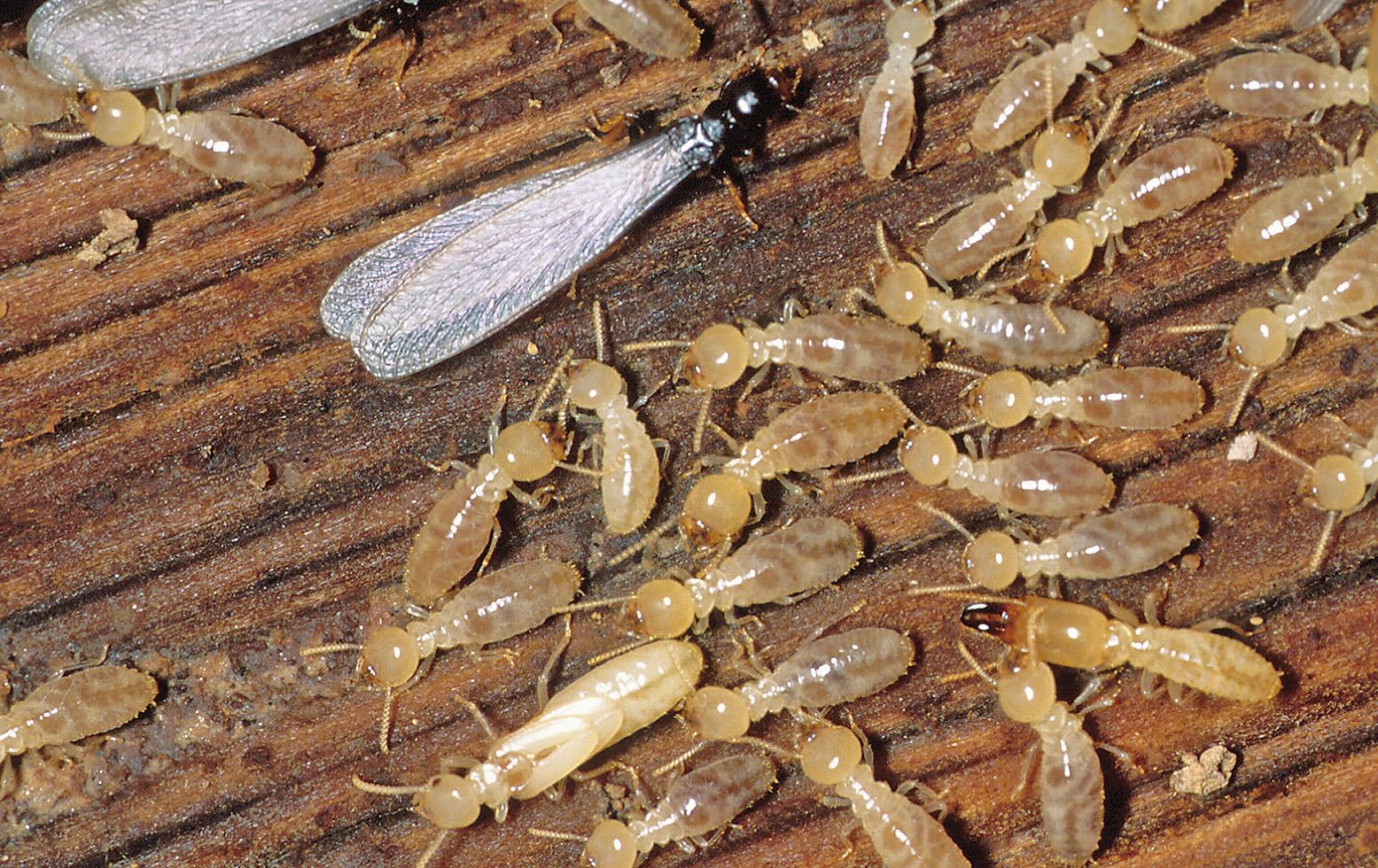 Termite Inspection Near Me Cost Contractor Quotes