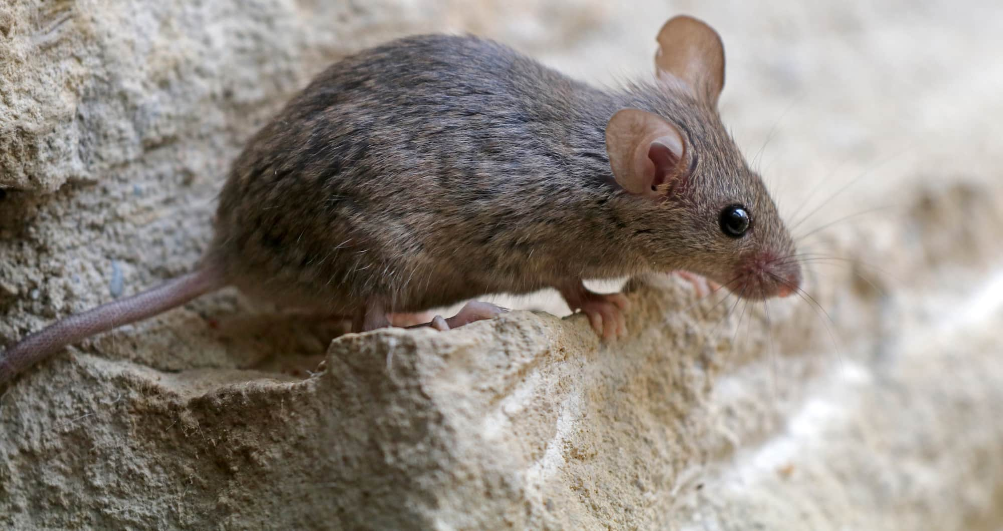How To Get Rid Of Mice In Walls And Ceilings Earlyexperts