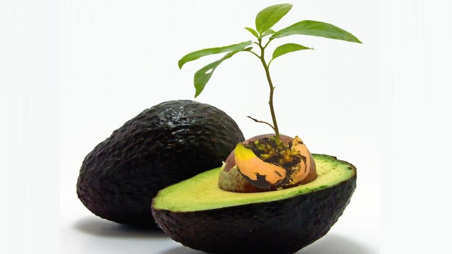 how to grow avocado in garden
