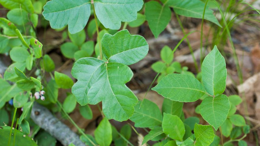 how to identify poison oak