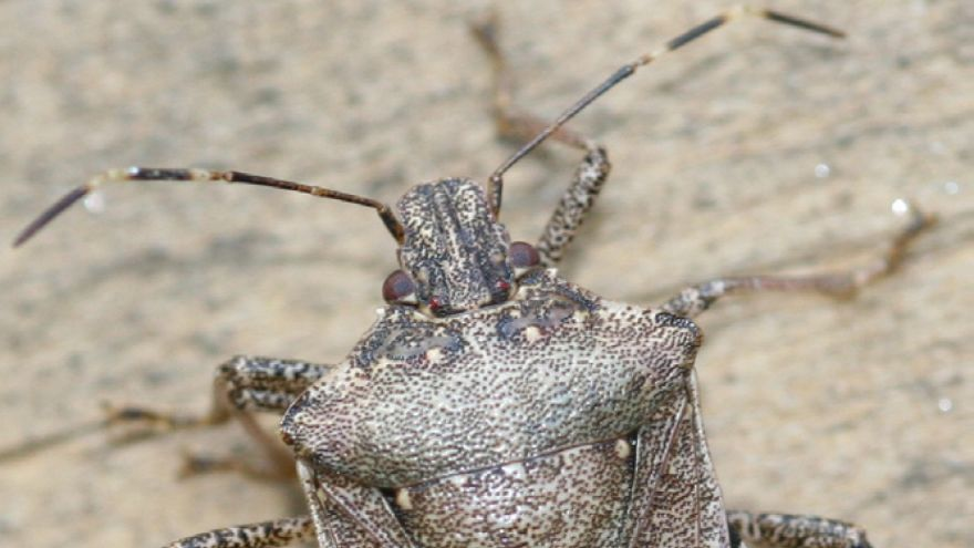 How to Keep Stink Bugs Away